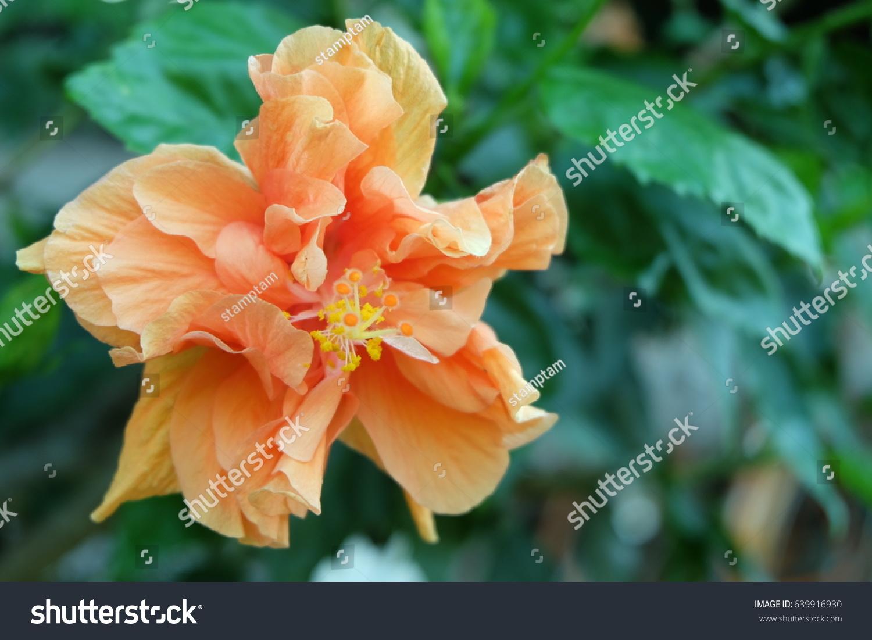 Hibiscus flower china rose chinese hibiscus stock photo royalty hibiscus flower china rose chinese hibiscus hawaiian hibiscus shoe flower hibiscus izmirmasajfo Gallery