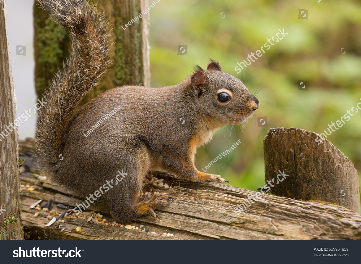 stock-photo-a-squirrel-perched-on-a-post