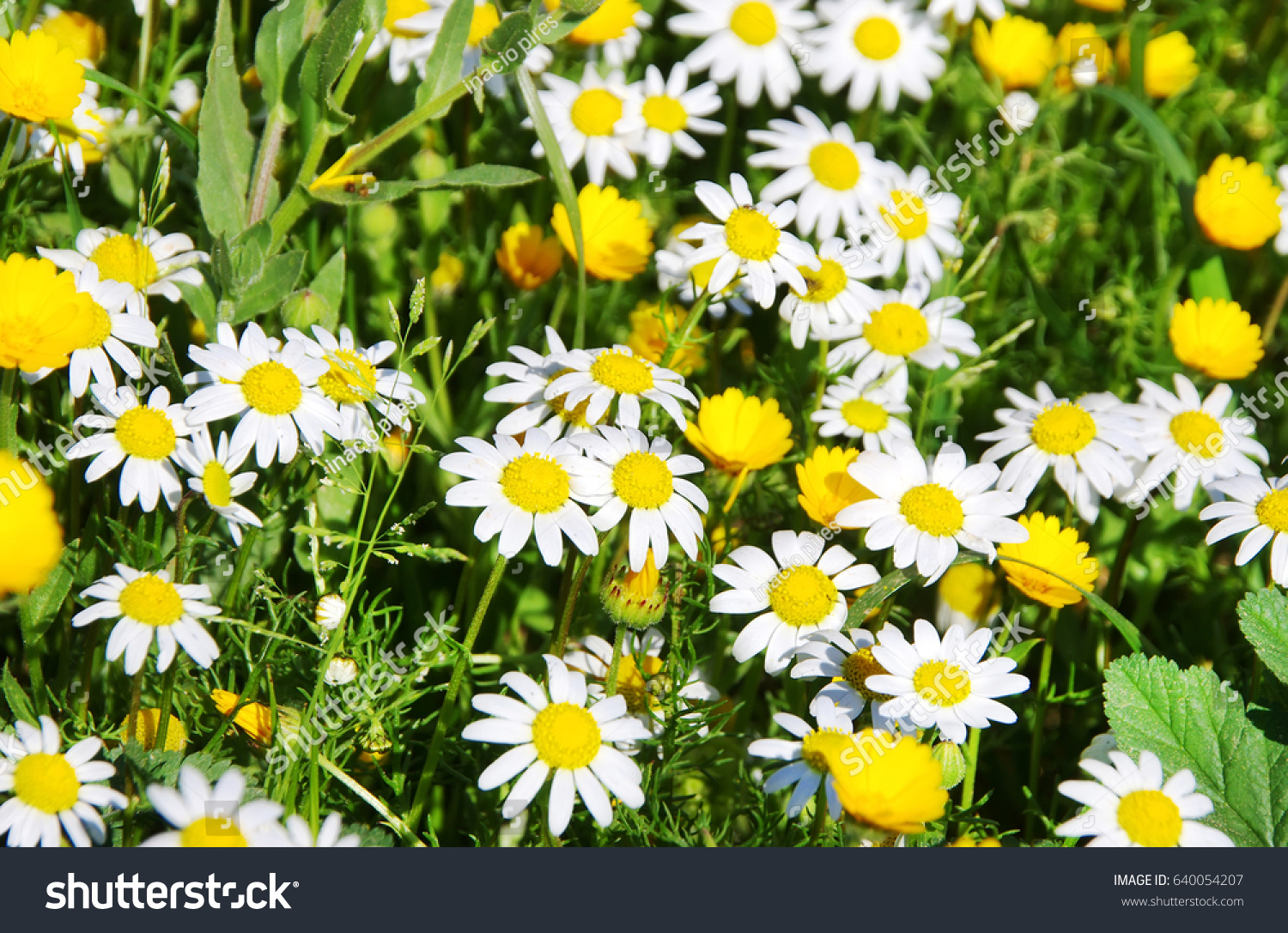 Daisy Flower Background Field Stock Photo Edit Now 640054207