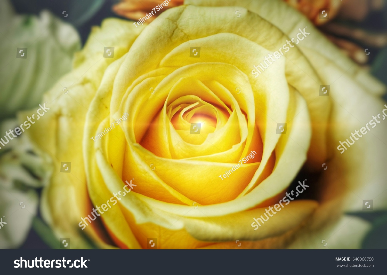 Beautiful Yellow Rose Fabulous Flower Wallpaper Stock Photo Edit