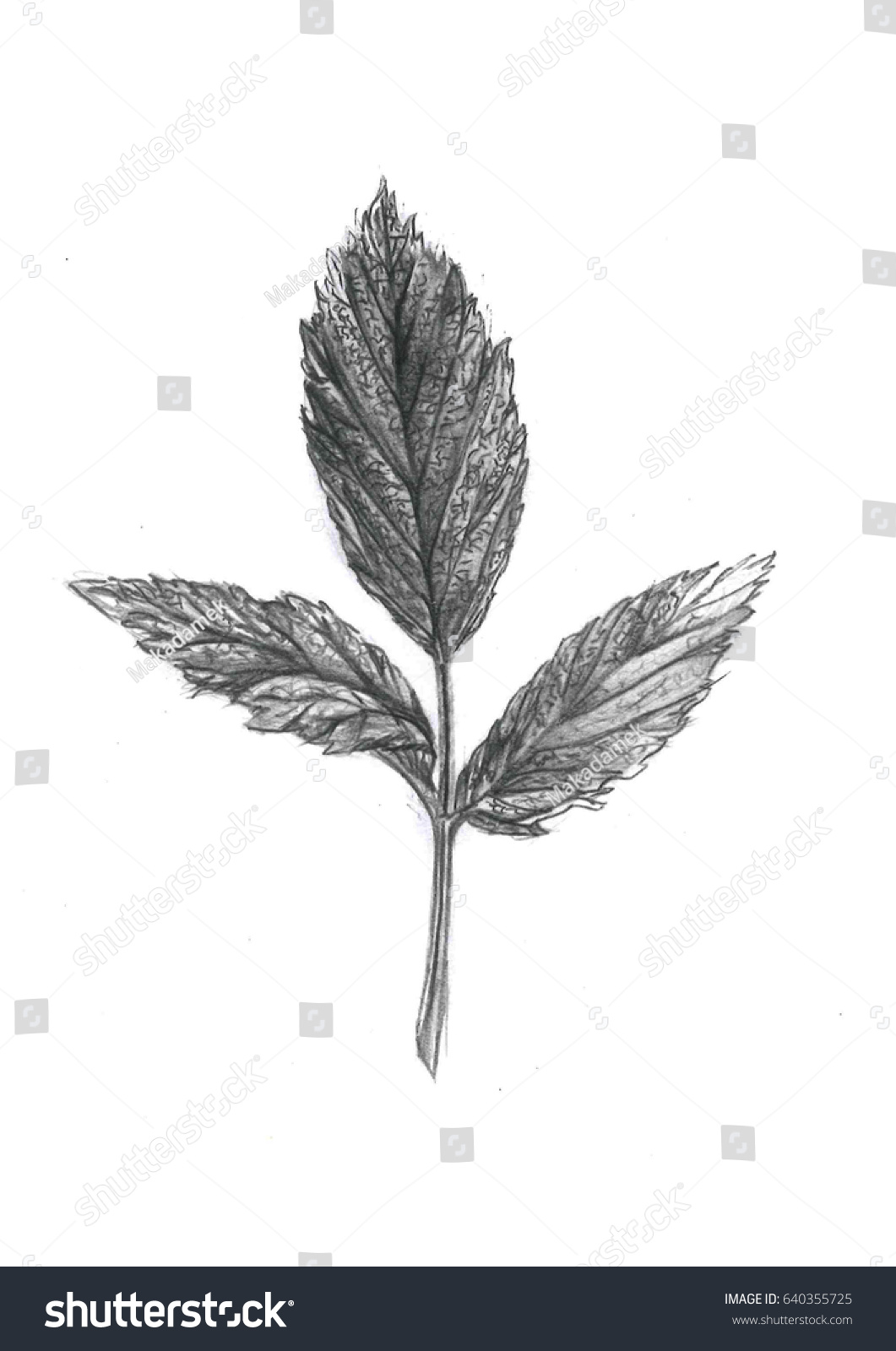 It is the uncolored illustration of the leaf it is pencil sketch suite into the