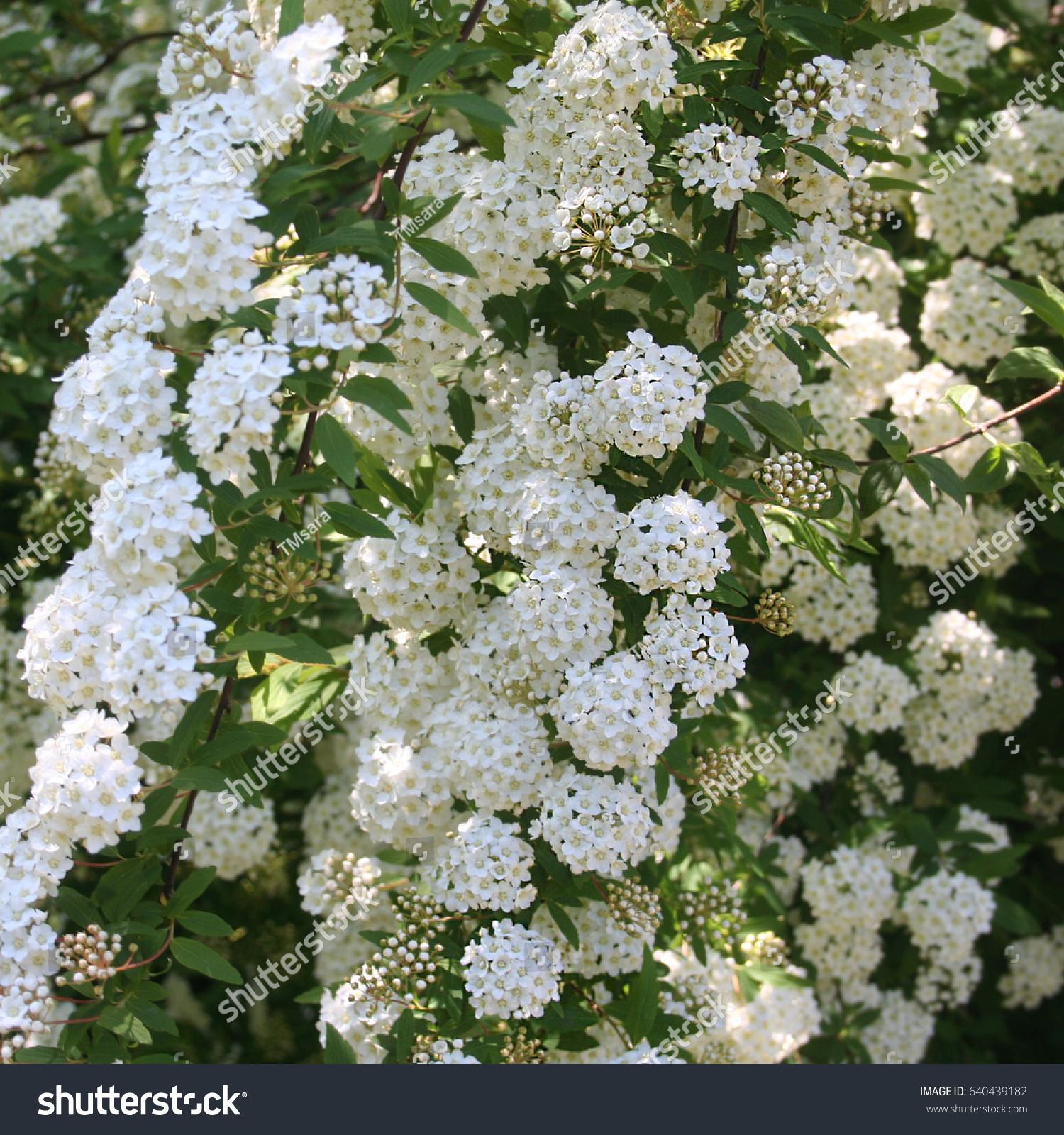 White Flowers Spirea Bush Spring Stock Photo Edit Now 640439182