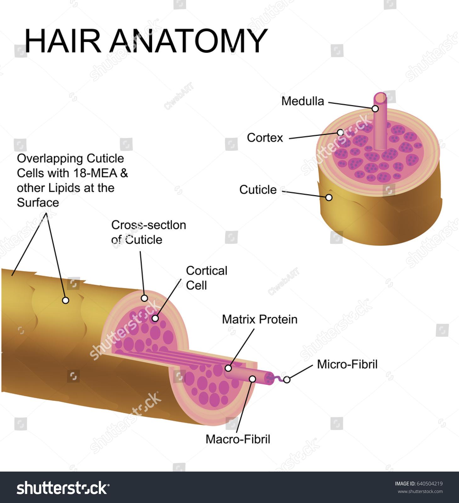 Hair Anatomy Stock Vector 640504219 - Shutterstock
