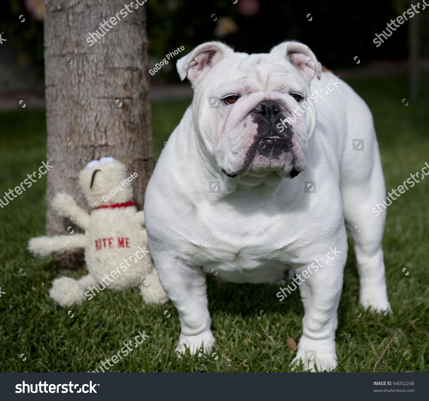 White English Bulldog Stock Photo 64052248 : Shutterstock