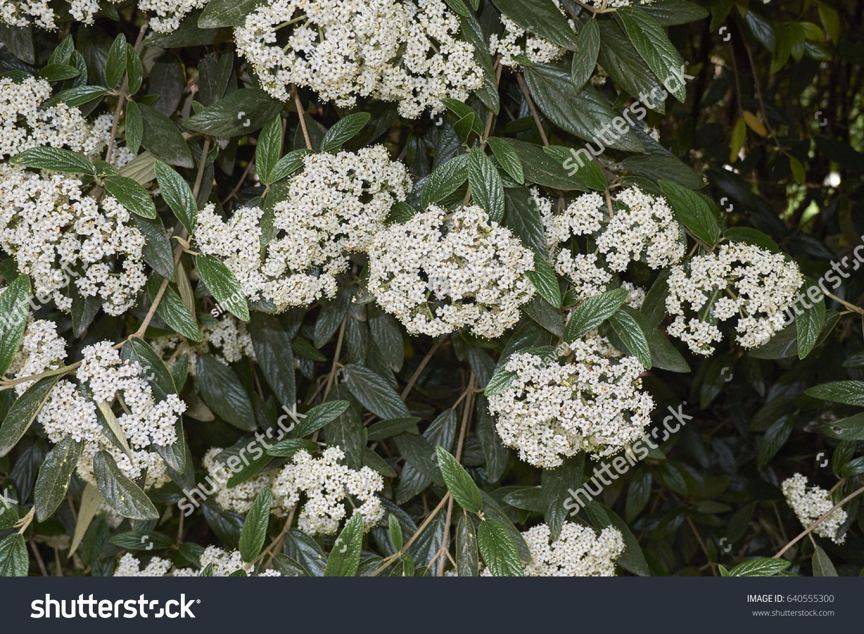 Evergreen Shrub White Flowers Stock Photo Edit Now 640555300