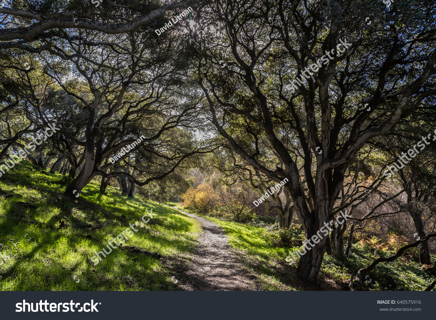 Coastal Live Oak trees (Quercus agrifolia) line a hiking trail in the hills of Monterey, California, as light shines through the branches leaving a contrasting pattern on the ground.