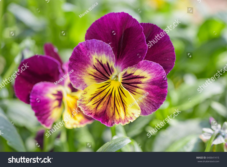 Purple Yellow Pansy Flower Closeup On Stock Photo 640641415