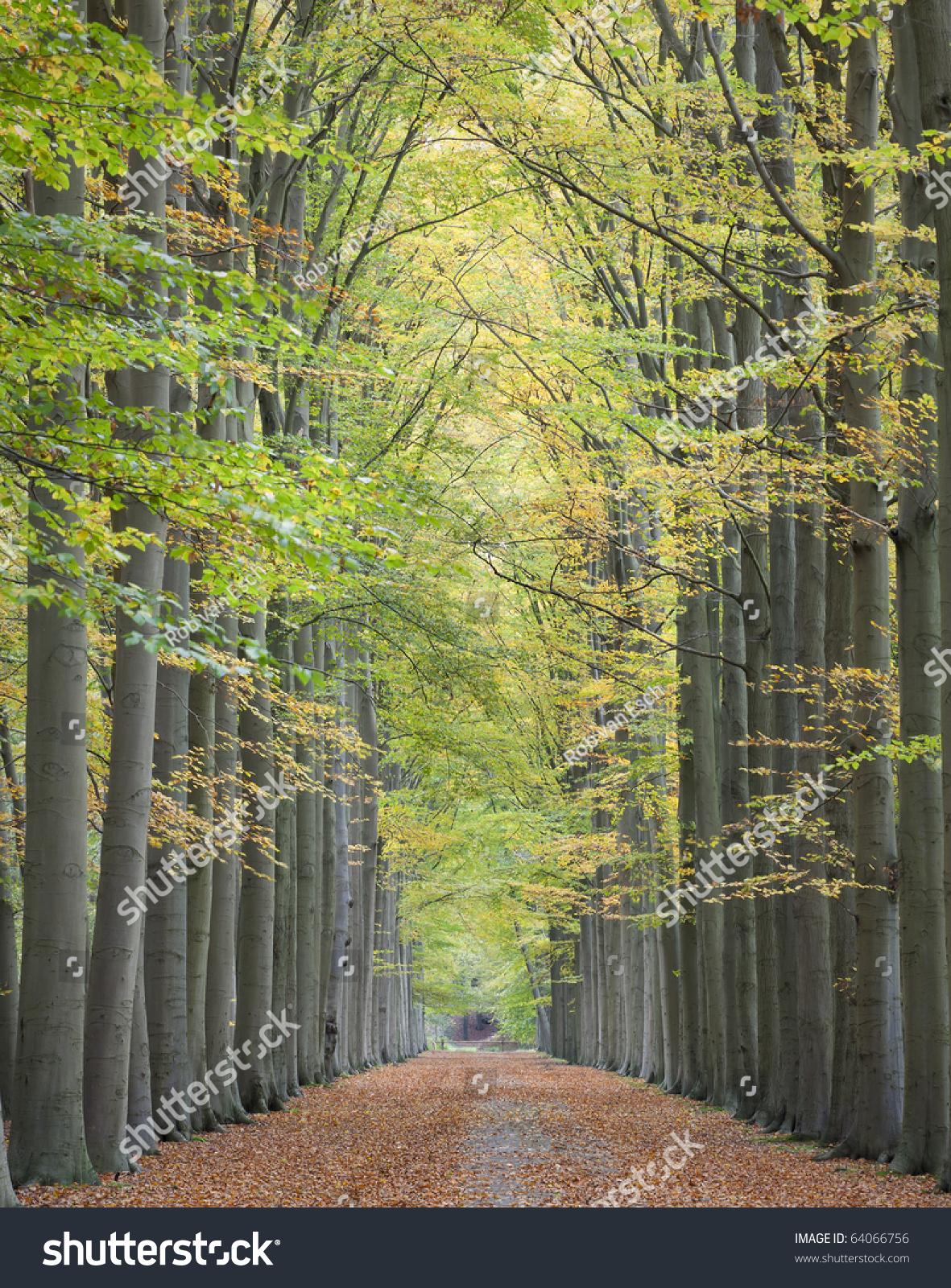 Beautiful Lane Tall Trees On Both Stock Photo 64066756 - Shutterstock