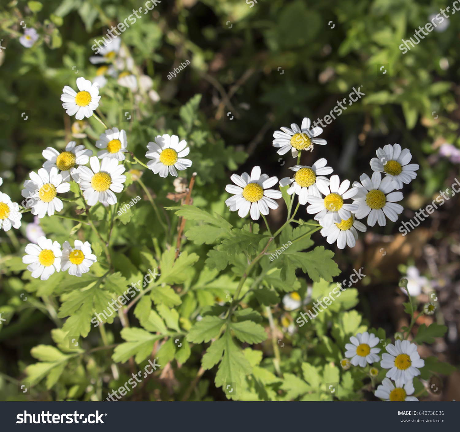 Pretty White Flowers Tanacetum Parthenium Feverfew Stock Photo Edit