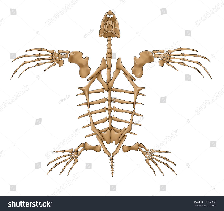 Turtle Skeleton Stock Photo (Edit Now) 640852603 - Shutterstock