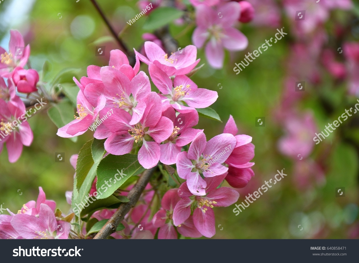 Crabapple Flowers Pink Color In Spring Morning Ez Canvas