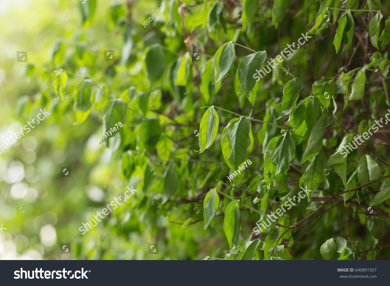 Scientific Name Is Wrightia Religiosa Bentha Sacred Treethe Flower