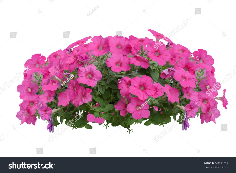 Purple Flower Bush Tree Isolated Tropical Stock Photo Edit Now