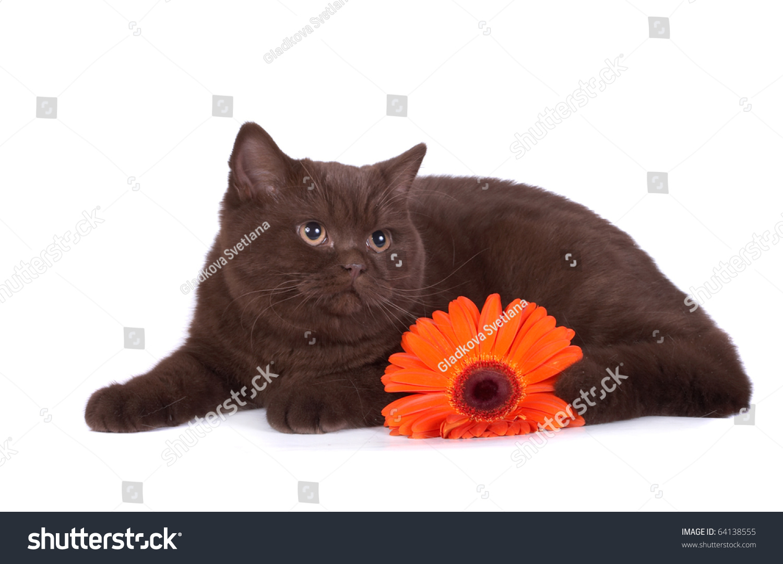 British Chocolate Cat Stock Photo 64138555 - Shutterstock