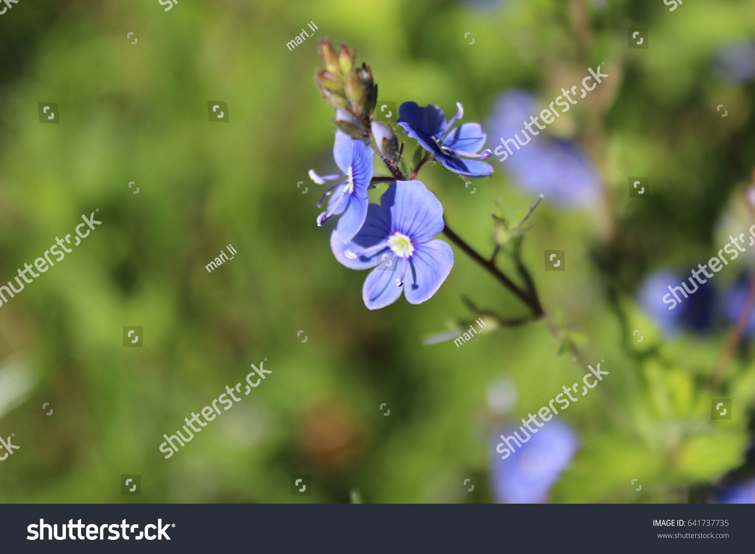 Speedwell veronica officinalis small blue flowers stock photo edit speedwell veronica officinalis small blue flowers izmirmasajfo