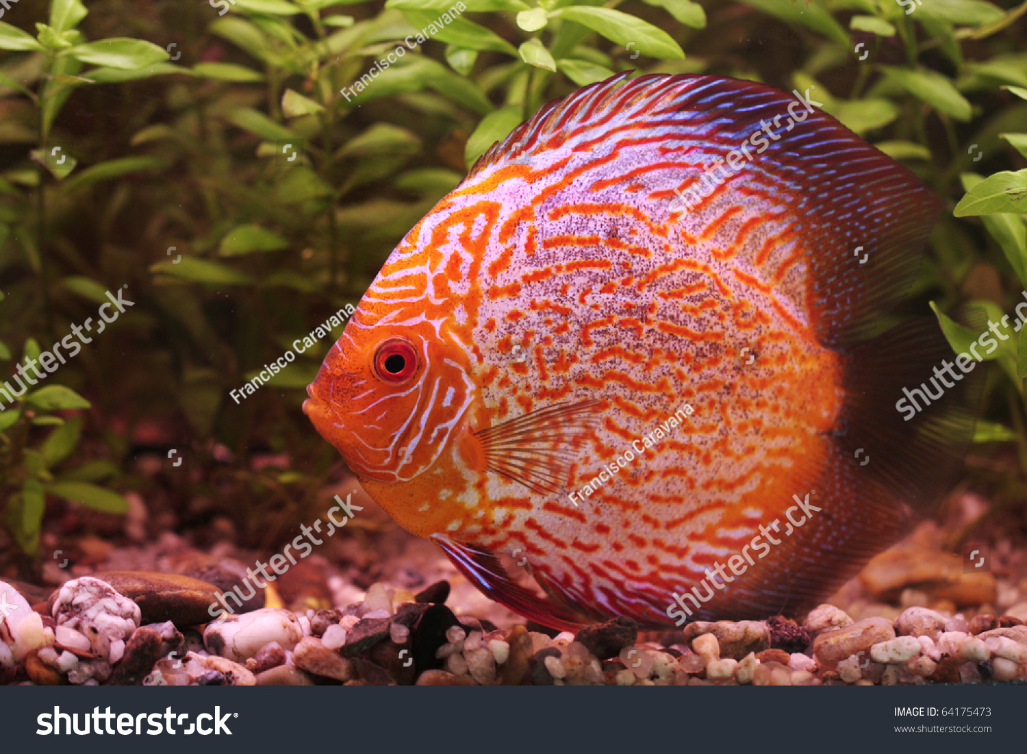 Closeup Colorful Tropical Discus Fish Stock Photo (Royalty Free ...