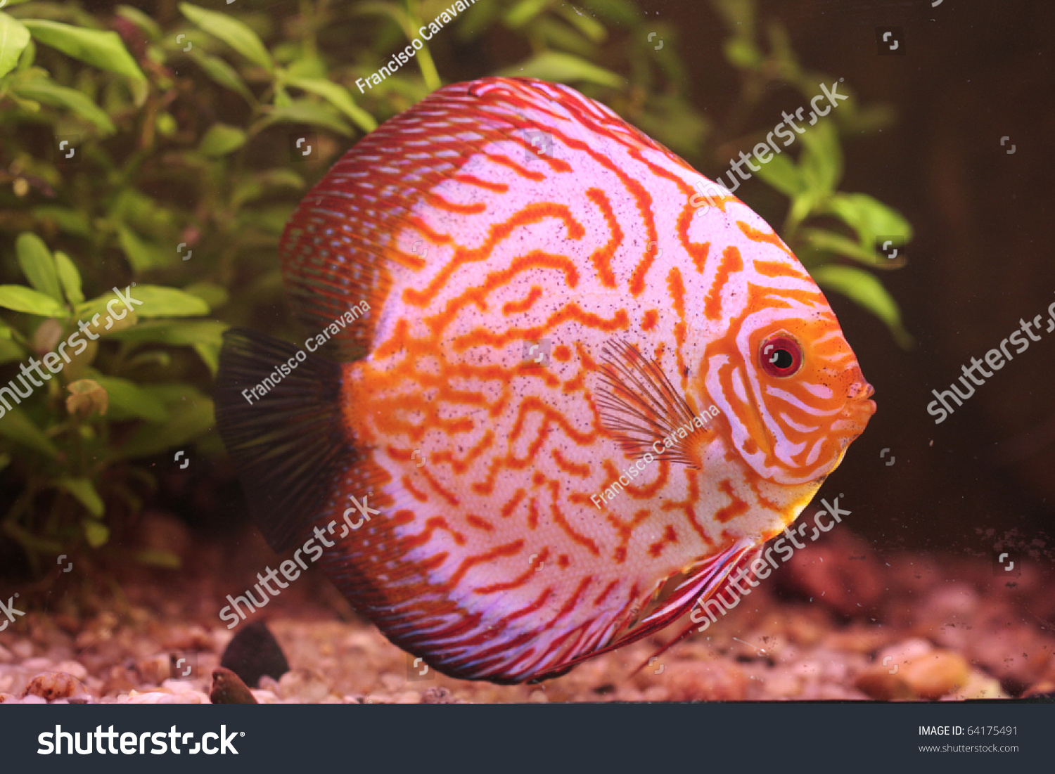 Closeup Colorful Tropical Discus Fish Stock Photo & Image (Royalty ...