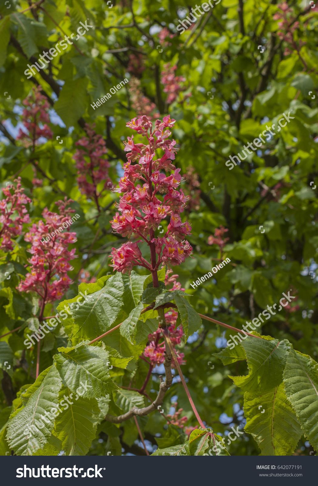Orange Red Pink Horse Chestnut Florwers Stock Photo Edit Now