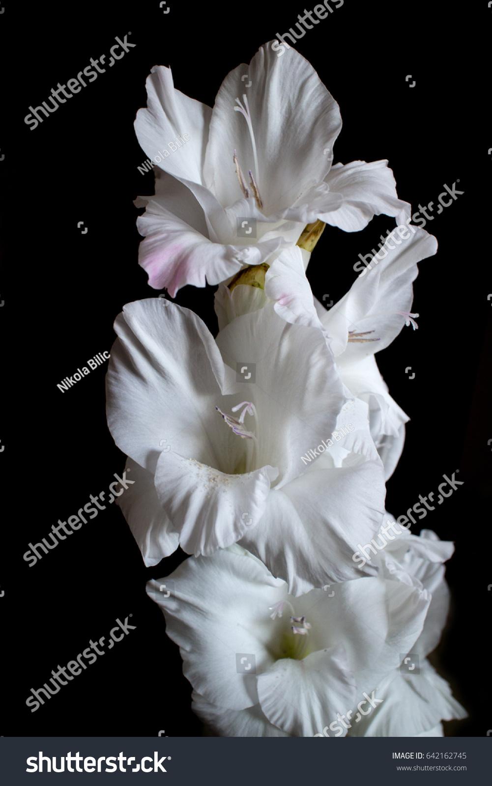 Image white gladiolus flower on black stock photo edit now image of white gladiolus flower on black background mightylinksfo
