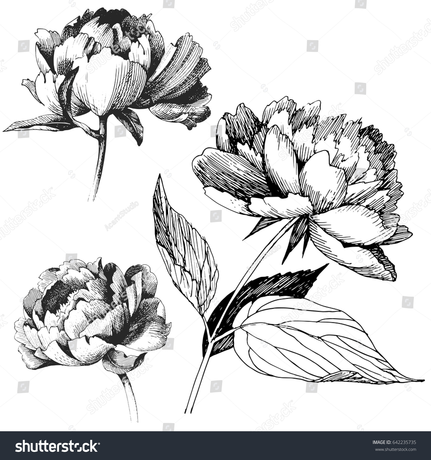 Peony Flowers Drawing Vector Illustration And Line Art Ez Canvas