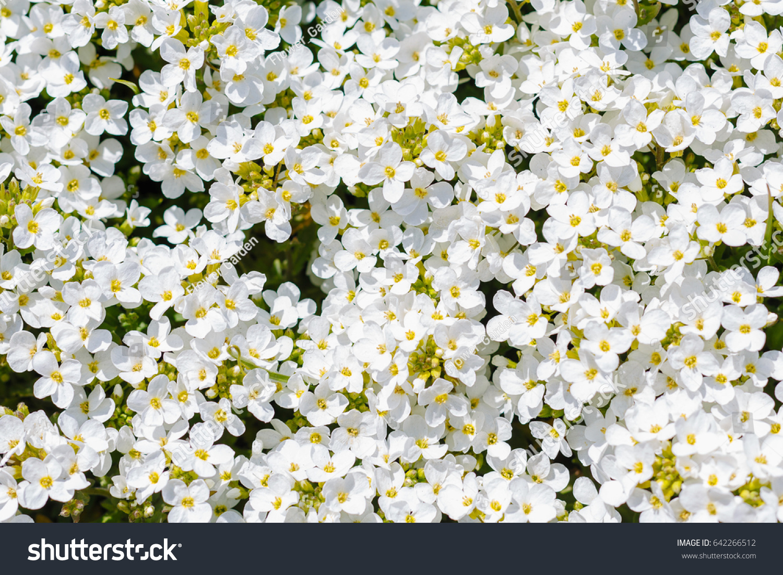 Background Flowers White Flower Arabis Caucasian Stock Photo Edit