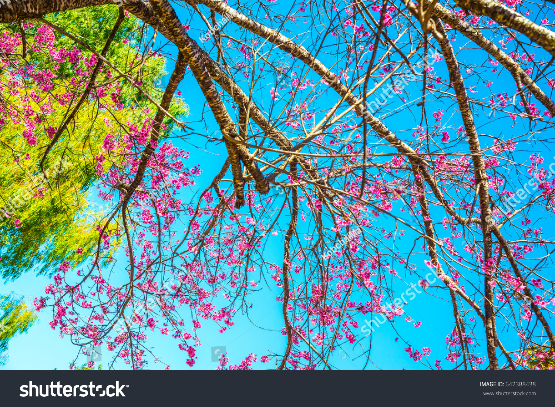 Cherry blossom trees with blue sky thailand ez canvas id 642388438 izmirmasajfo