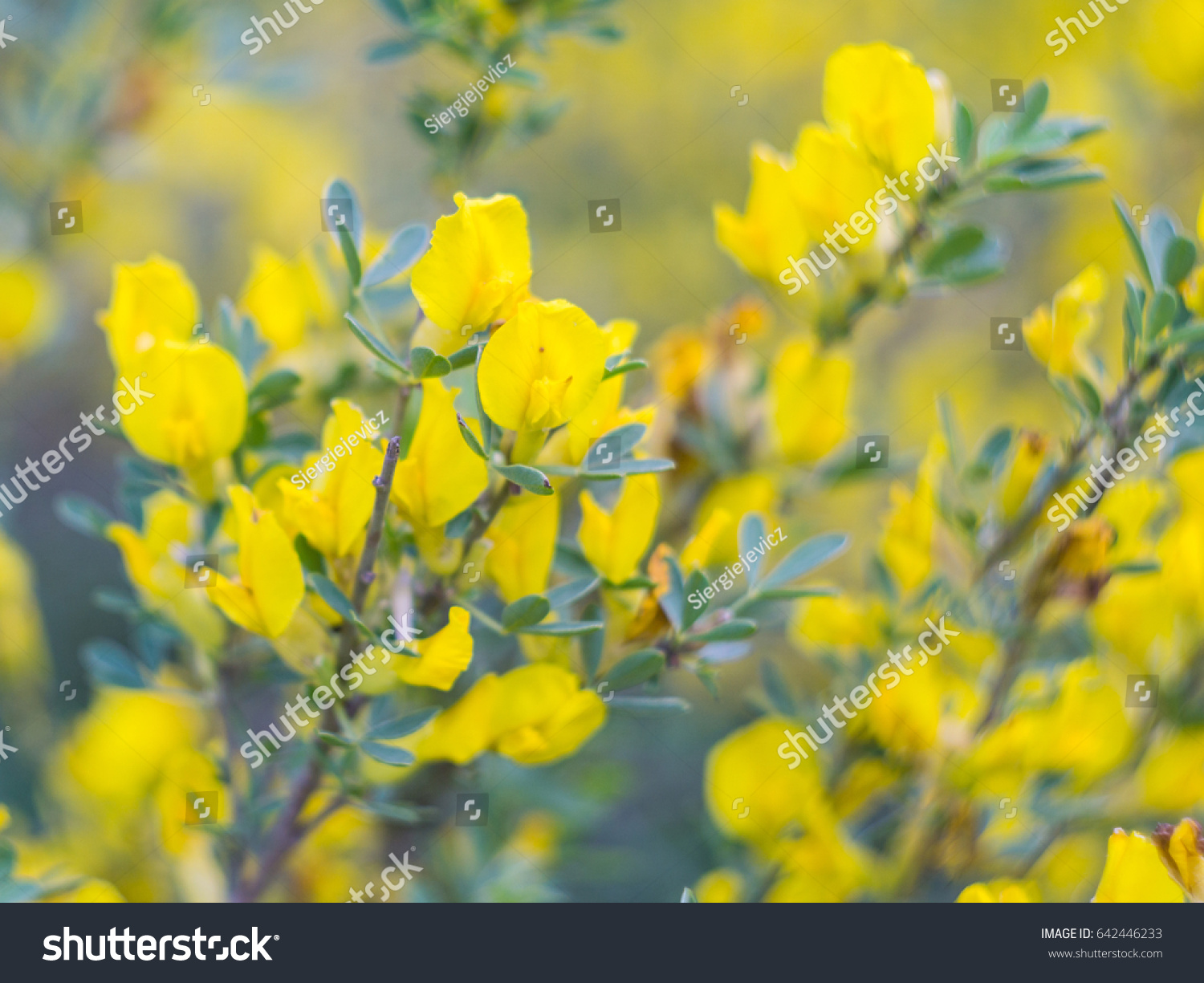 Yellow Flowers Bush In May Ez Canvas