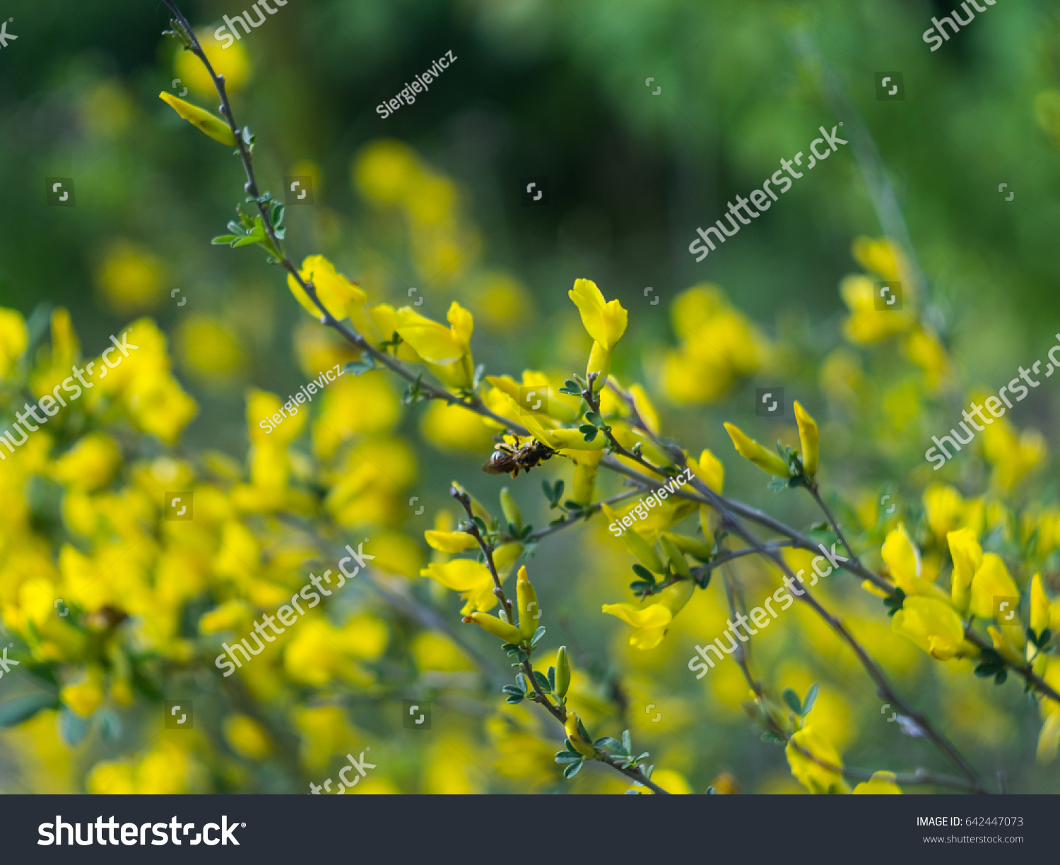 Bee On Yellow Bush Flowers In May Ez Canvas