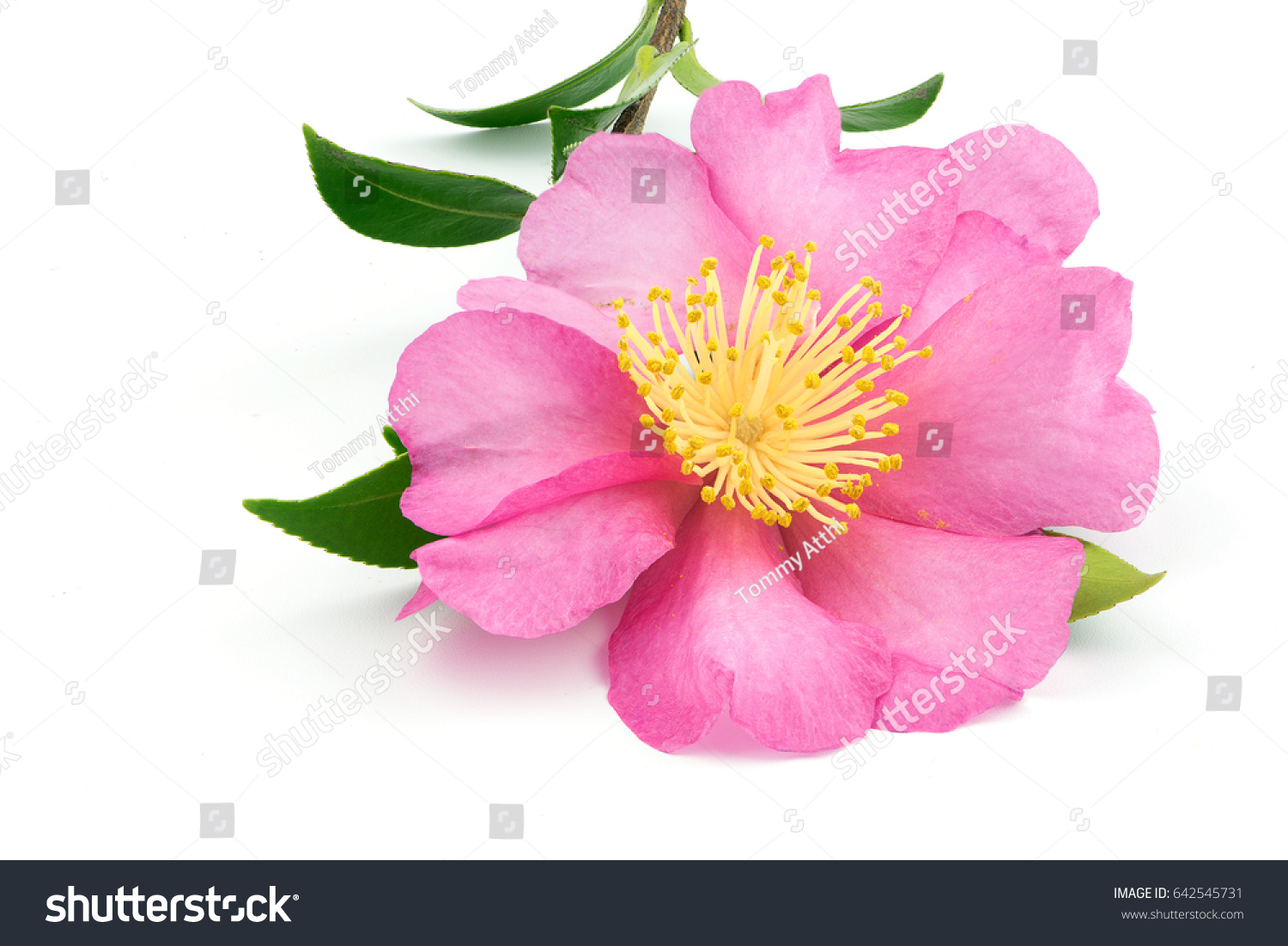 Pink Camellia Flower With Leaf Isolated On White Background Ez Canvas