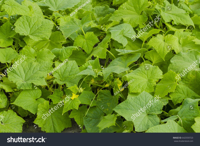 Field Climbing Cucumber Plant Yellow Flowers Stock Photo Royalty