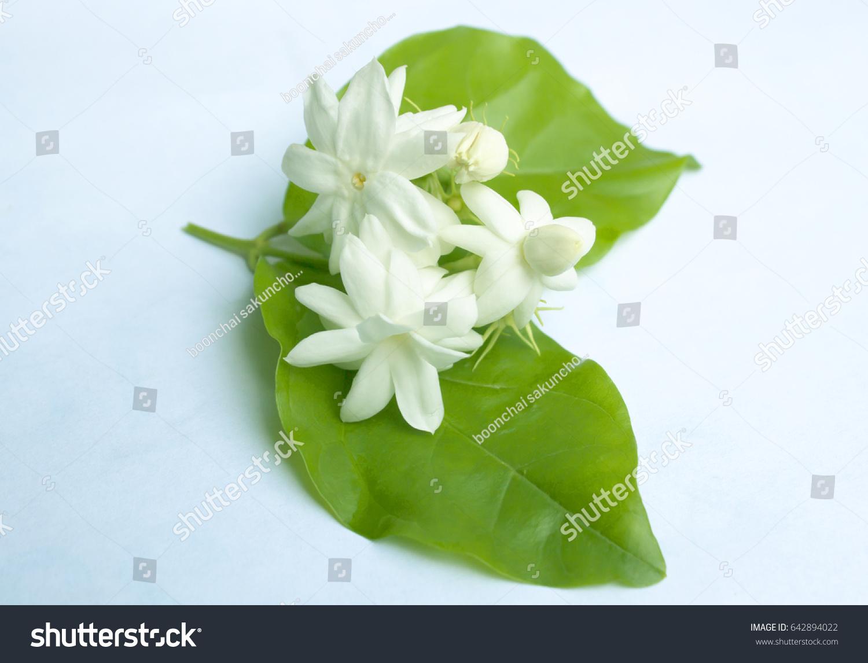 Arabian jasmine jasminum sambac flower leaves stock photo 100 arabian jasmine jasminum sambac flower and leaves jasmine tea flower isolated on white izmirmasajfo