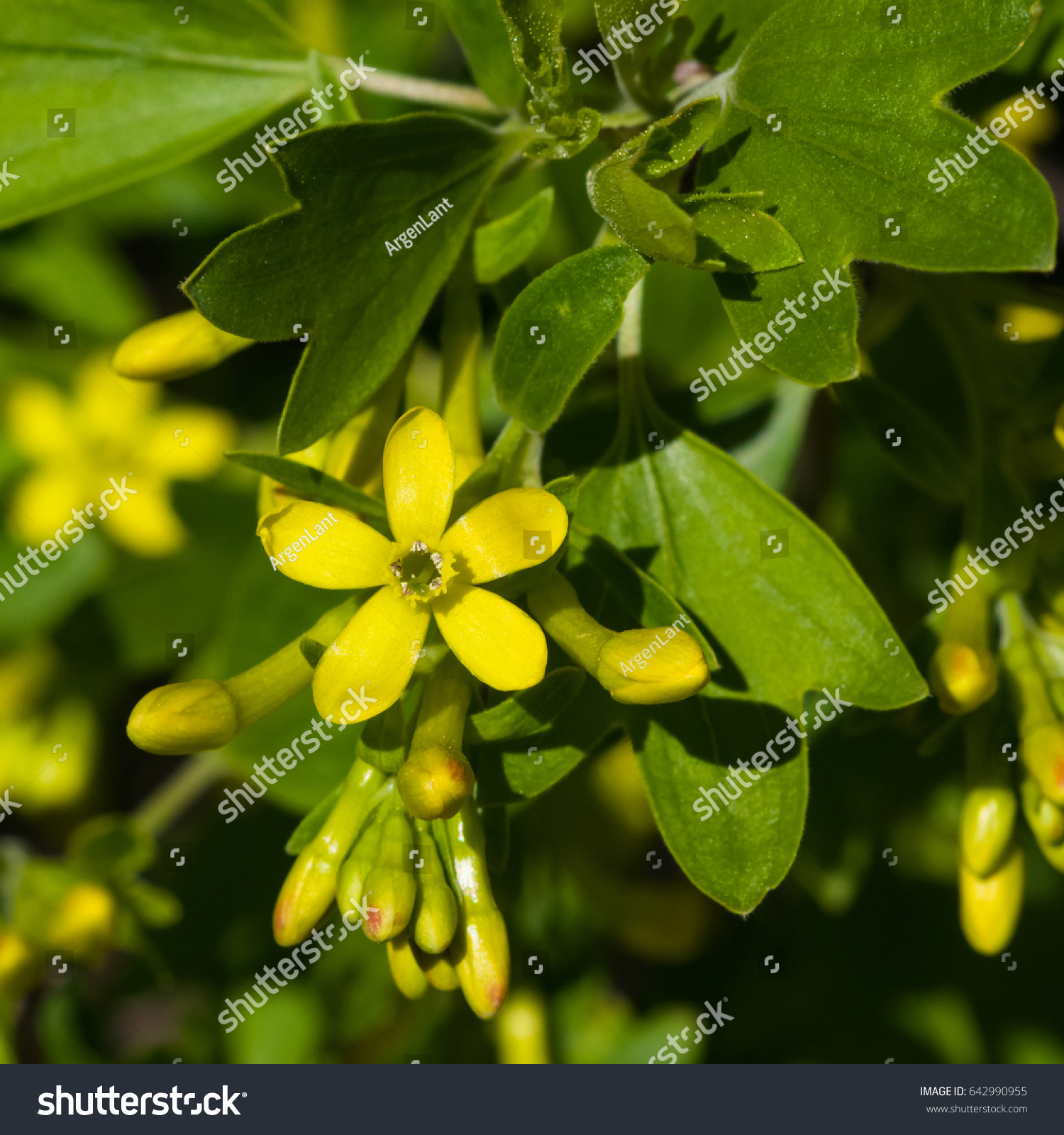 Buffalo Or Golden Currant Ribes Aureum Flowers Close Up With Bokeh