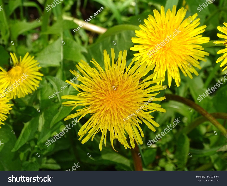 Yellowflowered Weed Stock Photo Royalty Free 643022494 Shutterstock