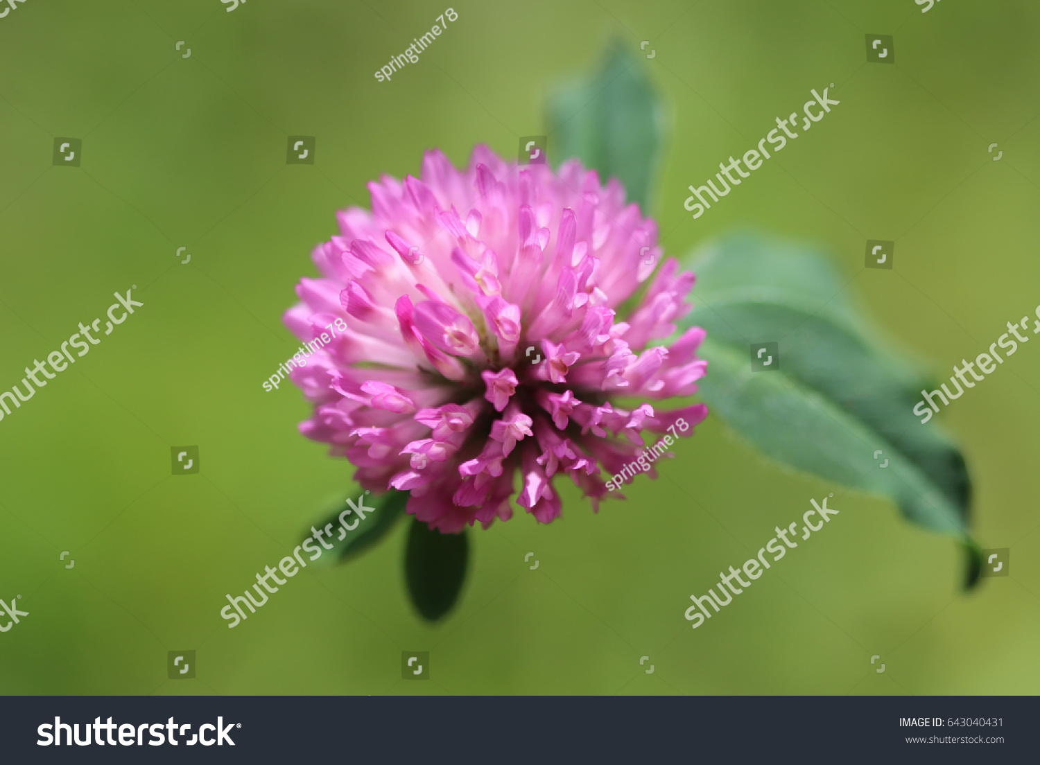 Purple Clover Flower With Green Leaves Ez Canvas