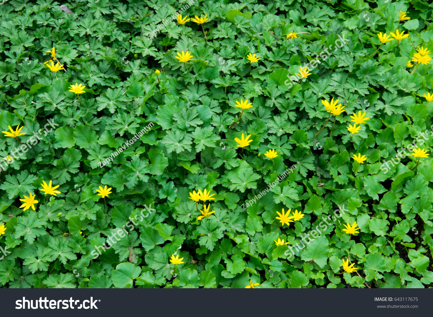 Green Grass Small Yellow Flowers Stock Photo Edit Now 643117675
