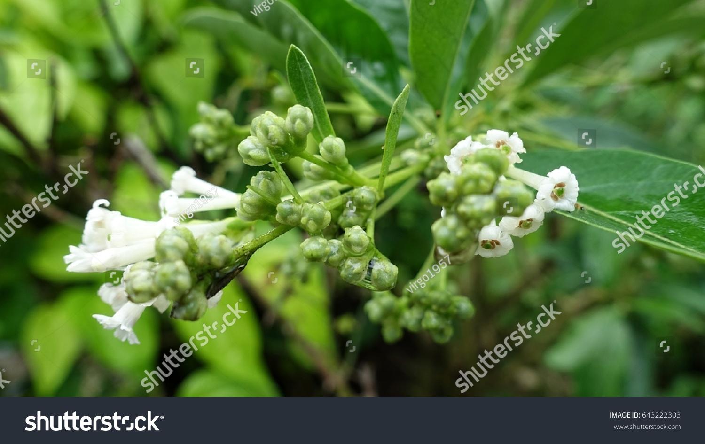 Day Cestrum Flowers On Bush Branch Cestrum Stock Photo Edit Now