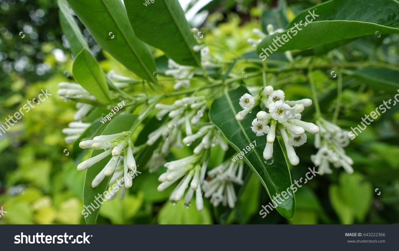 Day Cestrum Flowers On The Bush Branchcestrum Diurnum L