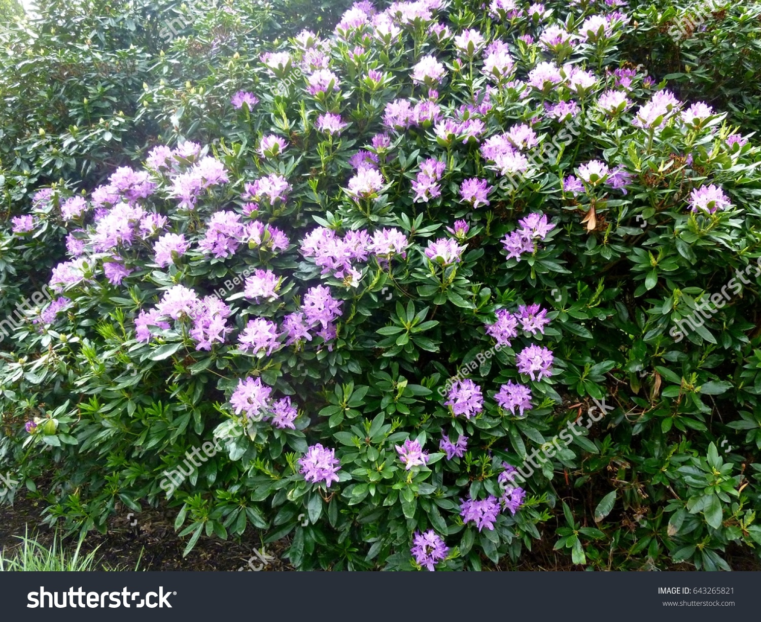 Large Rhododendron Bush With Purple Flowers Ez Canvas