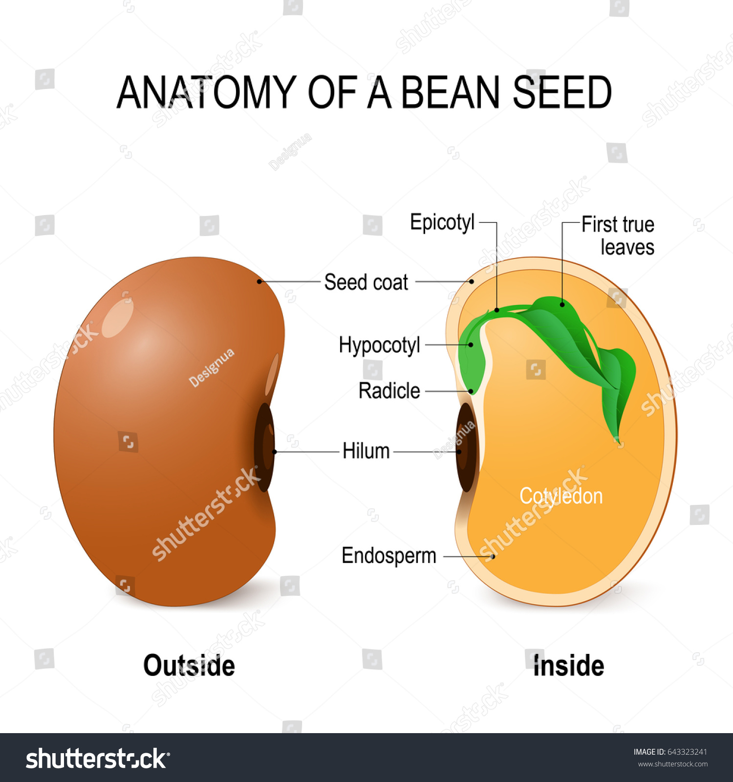 Anatomy bean seed diagram inside outside stock illustration anatomy of a bean seed diagram inside and outside of the bean seed pooptronica Images