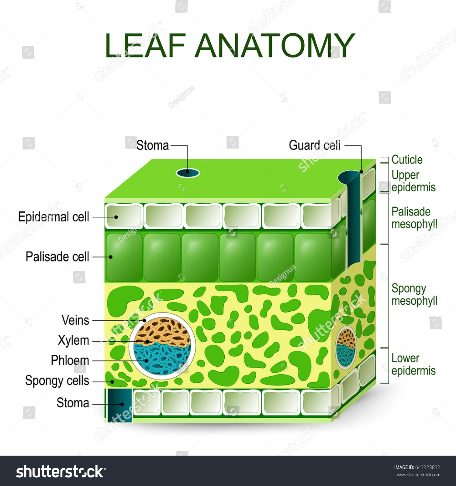 Leaf Anatomy Diagram On White Background Stockillustration 643323832