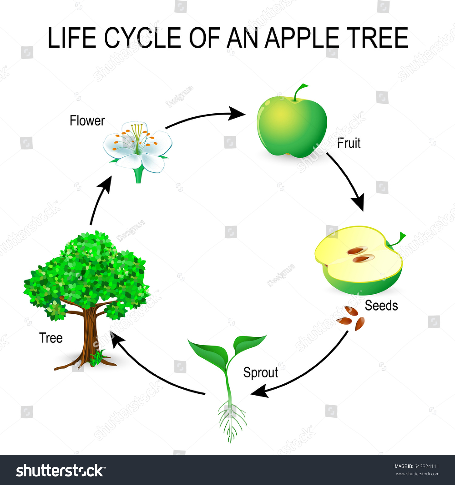 Life cycle apple tree flower seeds stock illustration 643324111 life cycle of an apple tree flower seeds fruit sprout seed pooptronica