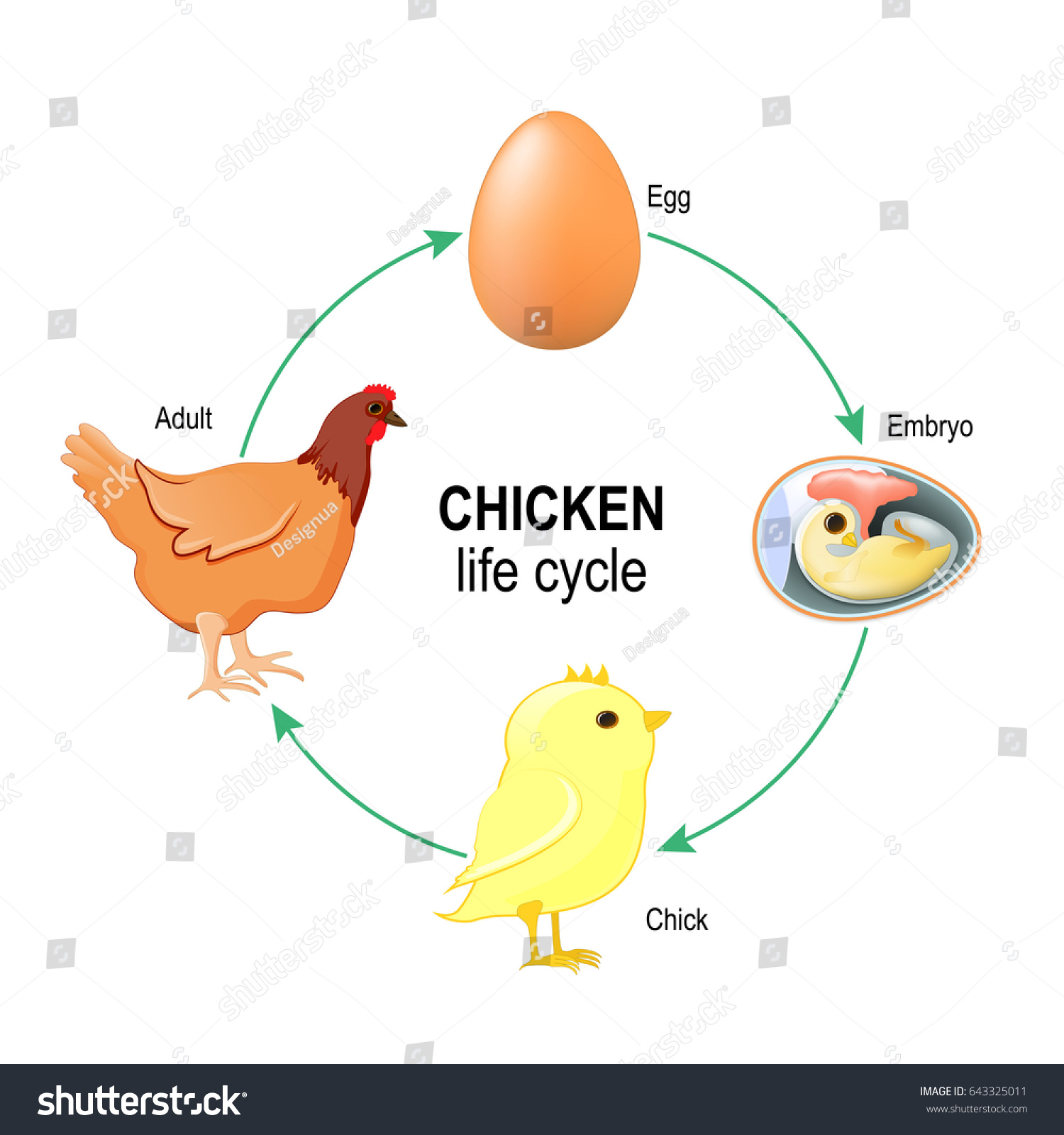 Chicken Life Cycle Egg Embryo Chick Stock Illustration 643325011 ...