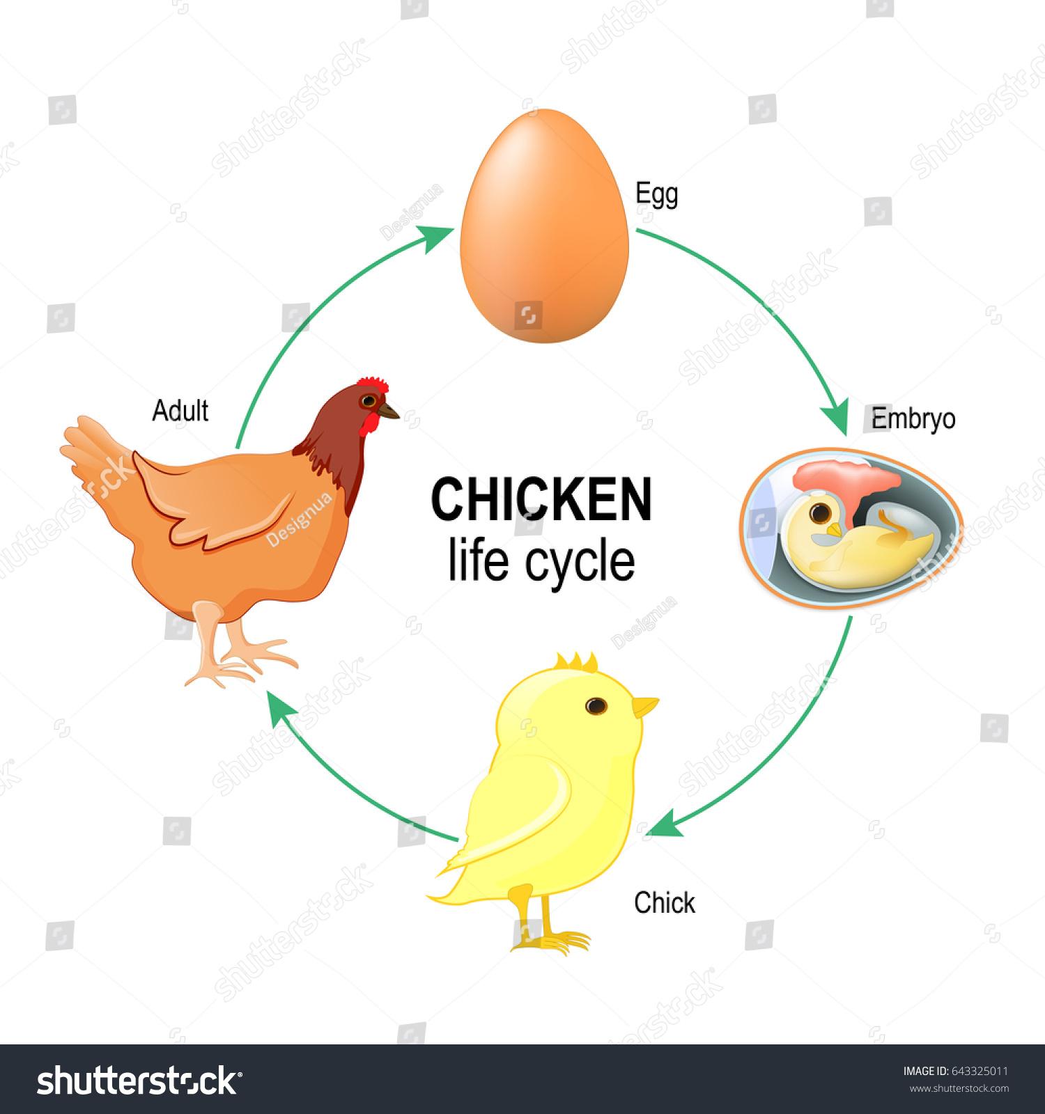 Anatomy of a chicken egg