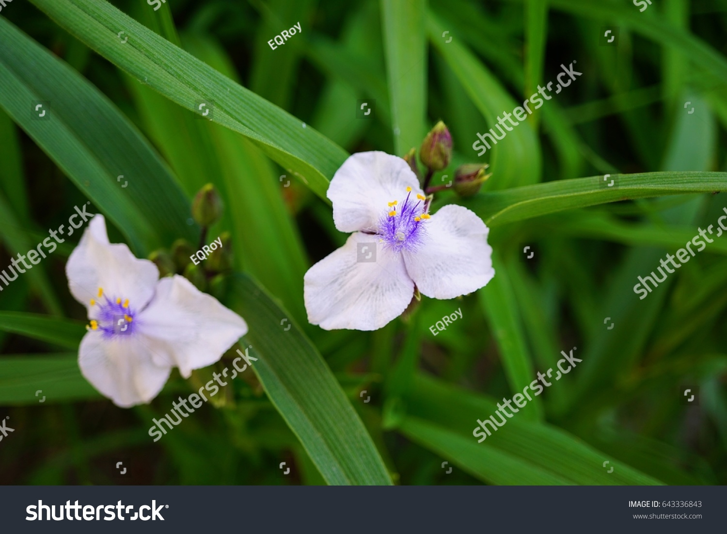 Close Up Of Small Chinese White And Violet Flower With Green