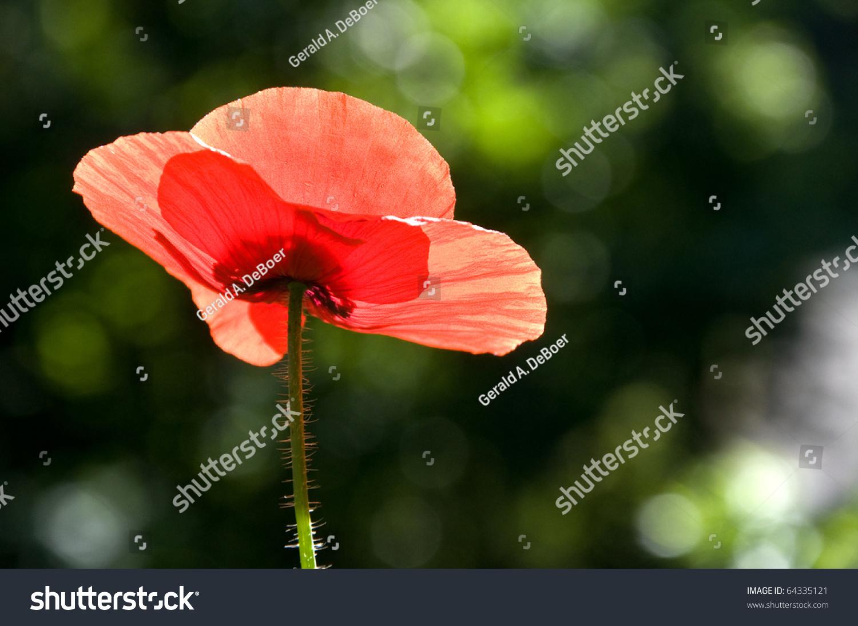 Photograph Underside Poppy Flower Backlit Early Stock Photo Edit