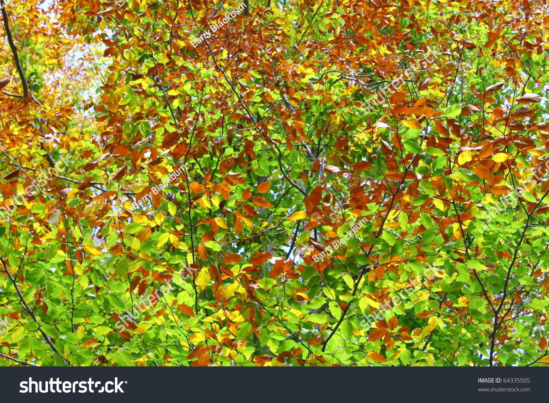 Beautiful Fall Beech Tree Changing Colors Stock Photo (Royalty Free ...