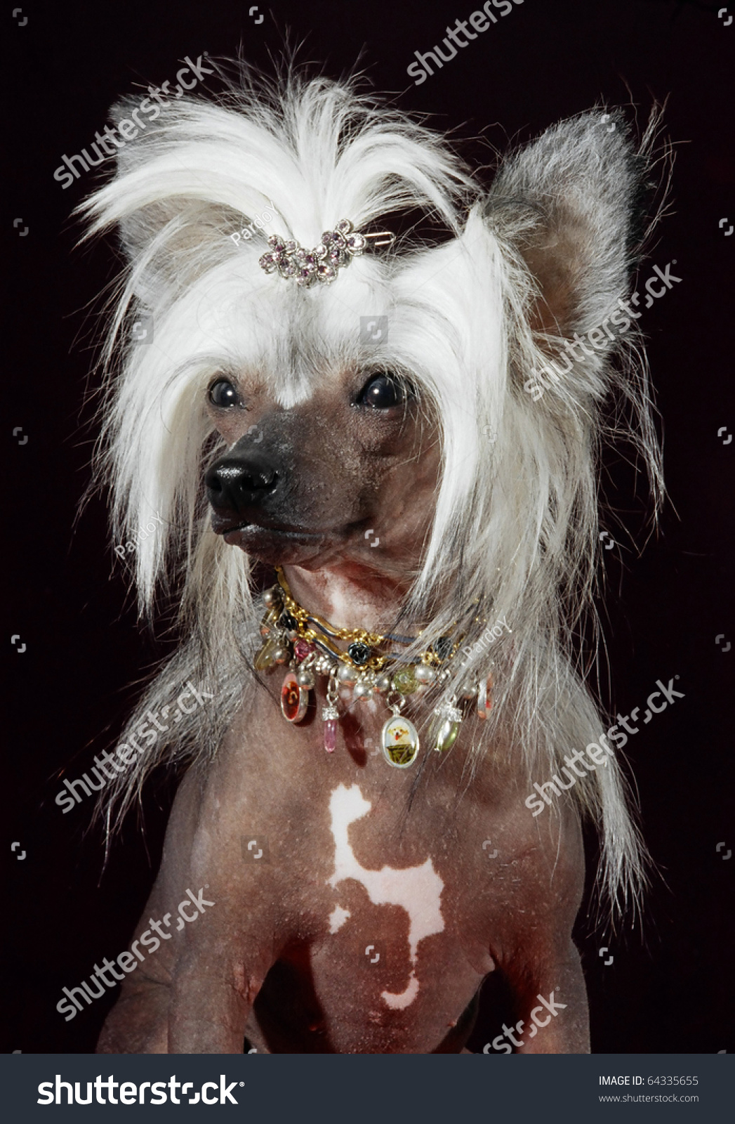 Chinese Crested Dog Portrait Hair Styling Stock Photo Edit Now