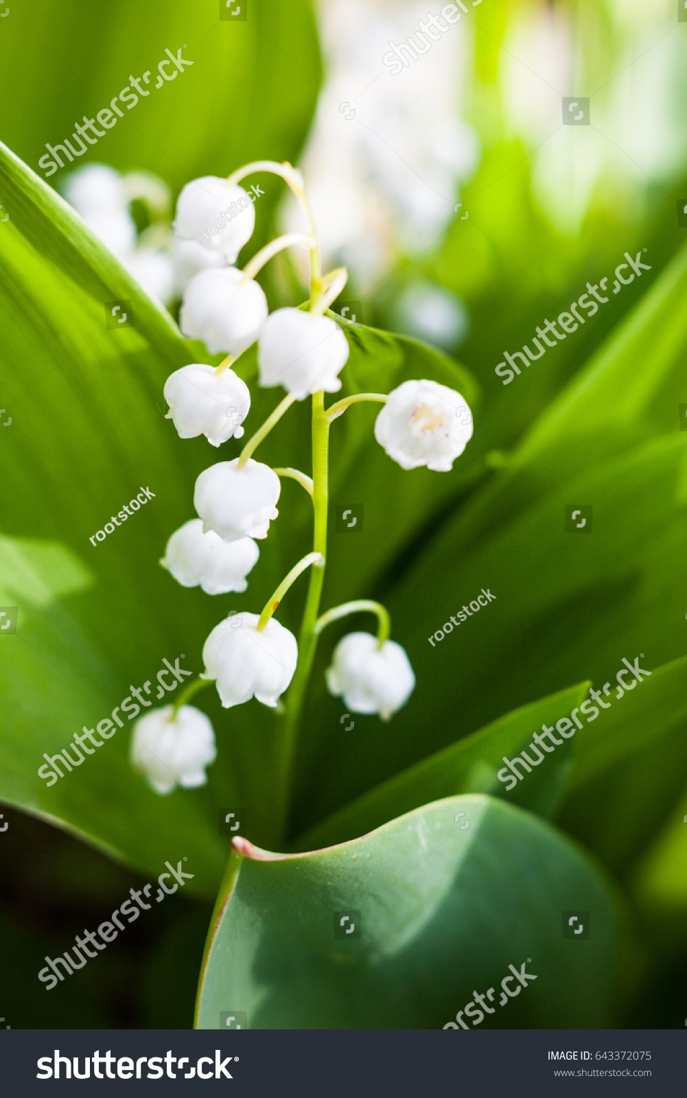 Blooming lily of the valley in spring garden ez canvas izmirmasajfo