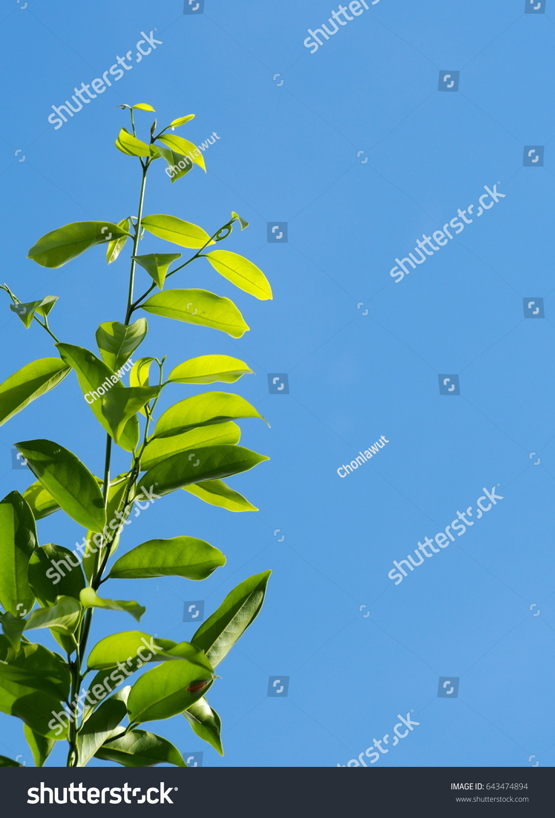 Large creeping plant tropical zone yellow stock photo royalty free large creeping plant in tropical zone with yellow aroma flower annonaceae artabotrys hexapetalus izmirmasajfo