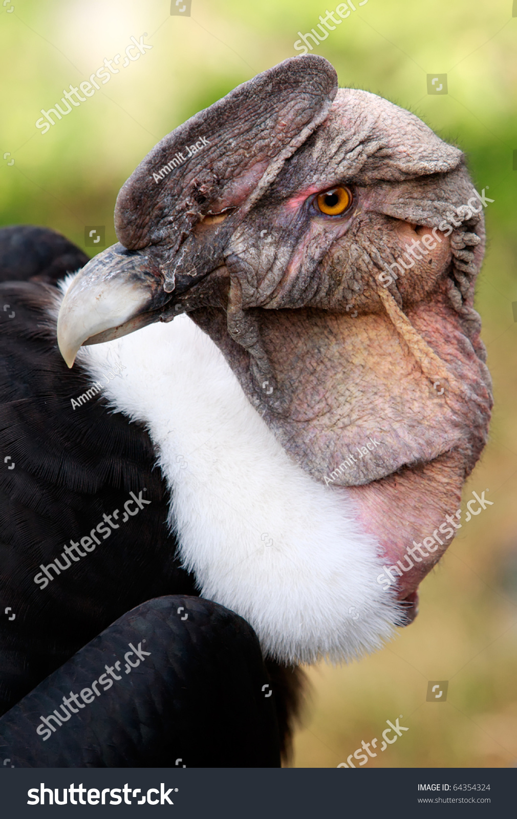 Andean Condor Vulture Gryphus Large Black Stock Photo 64354324 ...